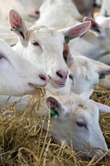 Flevoland weert geen nieuwe geitenhouderijen