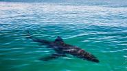 """WWF: """"Mediterrane haaien zijn meest bedreigde haaien ter wereld"""""""