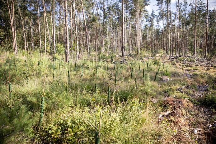 Sparren op de Vasserheide maken plaats voor loofbomen.