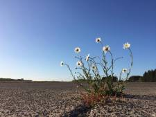Natuur heeft vrij spel op vliegbasis Soesterberg: margrieten groeien op oude startbaan