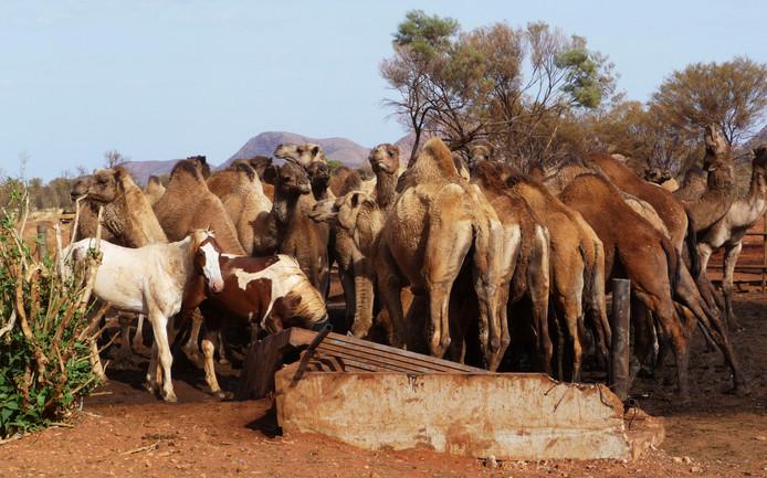 Wilde dromedarissen verdringen zich rond een waterplaats in Australië