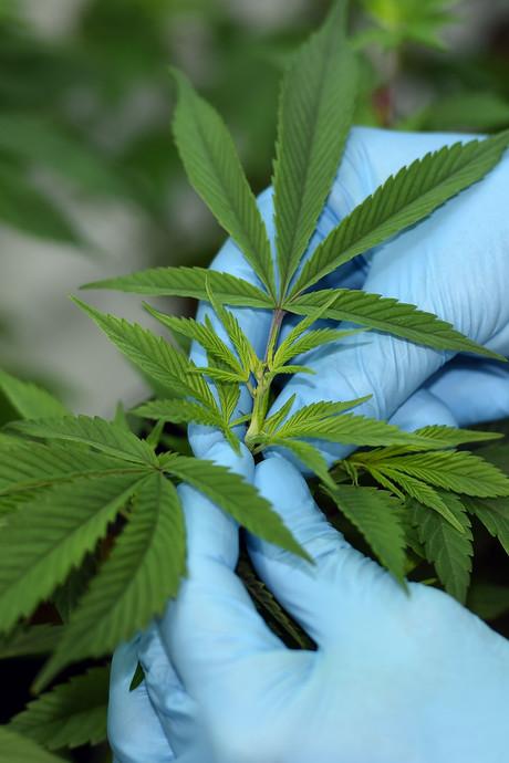 Delft voelt niets voor legaliseren thuisteelt cannabis