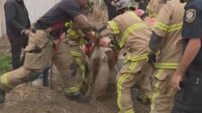 VIDEO. Hulpdiensten redden pony uit rioolput