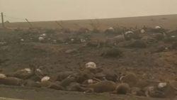 Schokkende beelden tonen karkassen van verbrande dieren langs weg in Australië