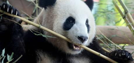Berlin Zoo hoopt achteruit lopend pandavrouwtje te genezen met seks