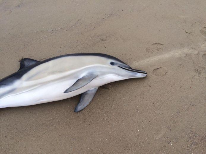 De aangespoelde gewone dolfijn werd levend op het strand gevonden. Maar het dier kon uiteindelijk niet meer gered worden.