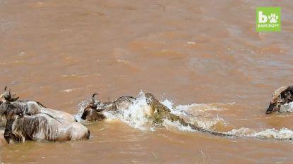 Toeristen zien hoe oversteek gnoes ontaardt in schranspartij voor krokodillen