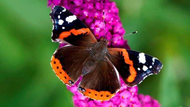 Een atalanta vlinder. Beeld anp