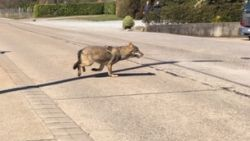 Wolf gesignaleerd in Kempen: eerste wolf ooit die  Albertkanaal oversteekt
