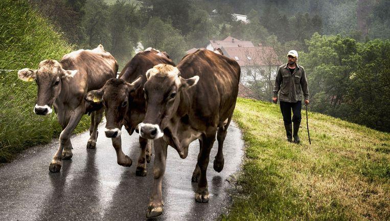 Bioboer Aljoša met zijn koeien in het bergdorpje Cadrg. Beeld Aurélie Geurts
