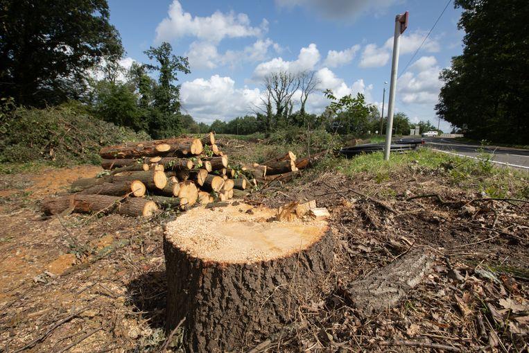 Ook in het Genebos in Lummen werden bomen gekapt.