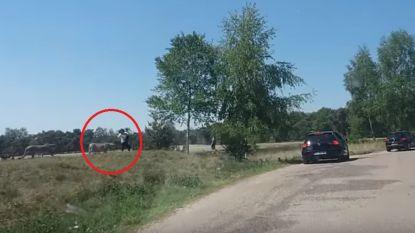 Gezin stapt uit auto en wordt beslopen door jachtluipaarden in Beekse Bergen