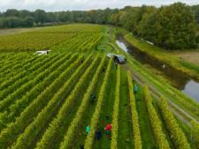 Jenneke uit Haaksbergen helpt mee met Twentse druivenoogst: 'Leukste vrijwilligersbaan die er is'