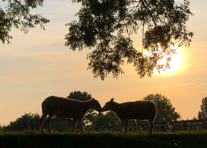 Een bijzondere ontmoeting tussen twee schapen in het licht van de ondergaande zon op de vestingwal in Woudrichem