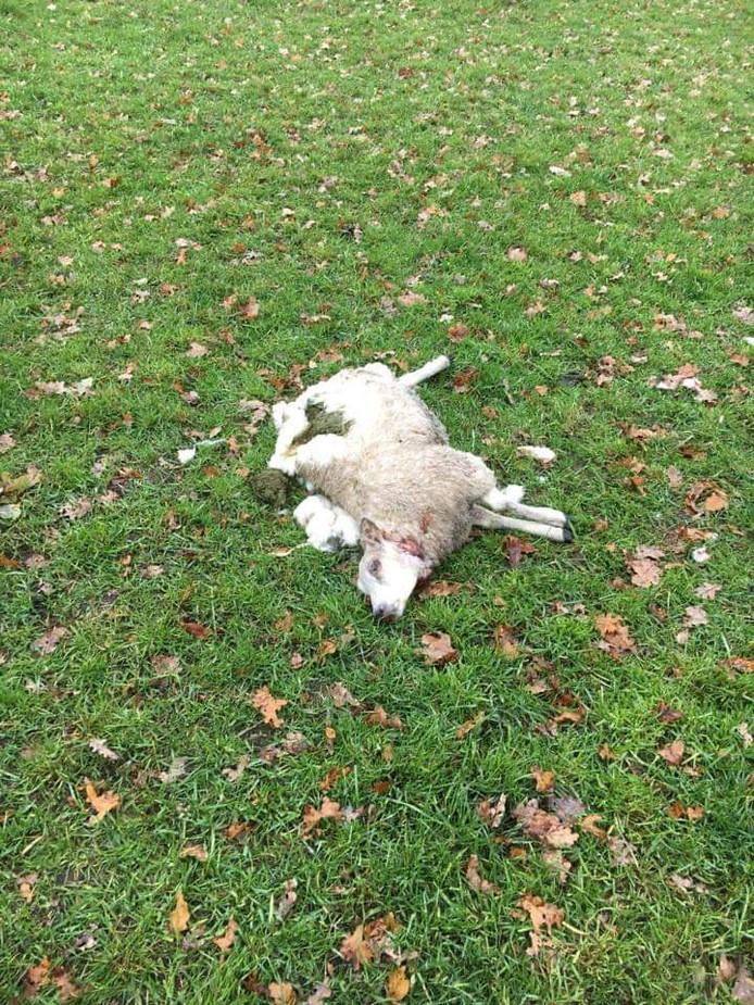 Het schaap zoals dat dood werd aangetroffen