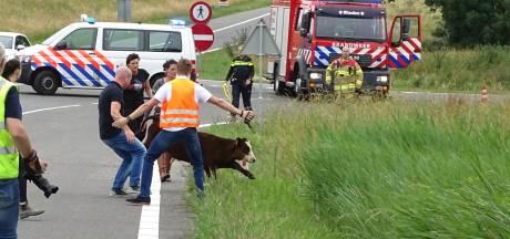 Koe loopt oprit A348 bij Velp op
