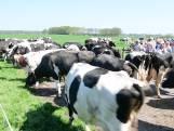 Koeien voor het eerst naar buiten in Beerze
