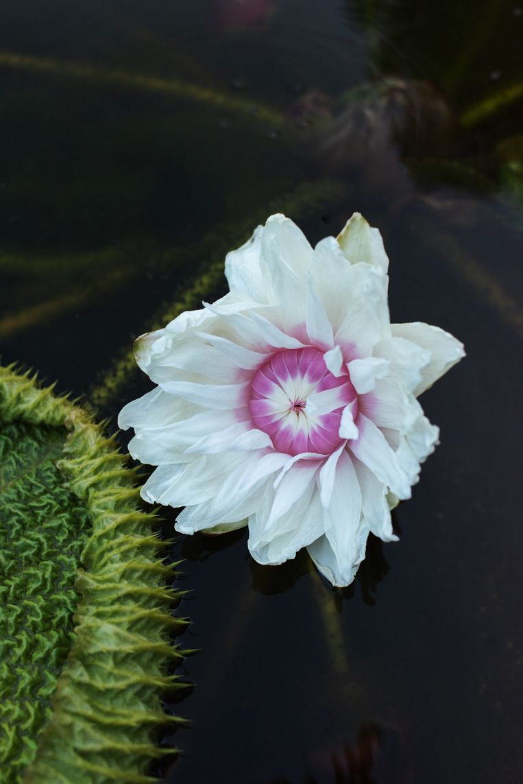 Het is zover: de eerste bloem (wit) van de Victoria lelie gaat open.  Beeld Teska Overbeeke