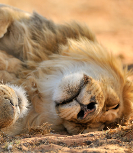 Dierenorganisaties vrezen voor toekomst van de leeuw