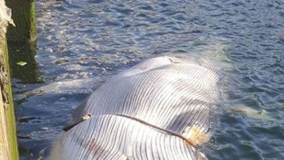 Dode vinvis van 16 meter lang aangespoeld in haven Vlissingen