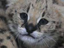 Om op te vreten! Piepjonge servals in Blijdorp schrikken zich een hoedje van verzorger