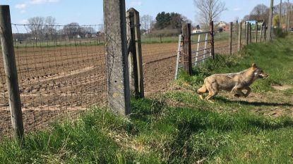'Nieuwe wolf' in Antwerpse Kempen rukt verder op
