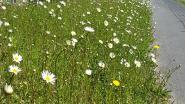 Oudenaarde plant en zaait bijenvriendelijke bloemen op 45 plaatsen