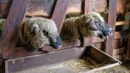 Dertien schapen en geiten in beslag genomen bij recidivist in Haren