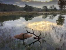 Gelderse fotoprijs voor beeld van dood hert in Nunspeet