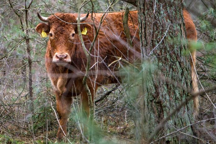 Hermien bivakkeert al zes weken in de bossen van Lettele.