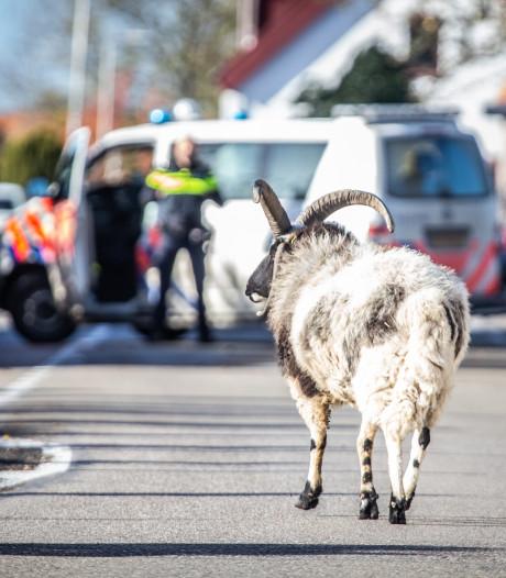 Ontsnapte geit zorgt voor oponthoud in Heinenoord