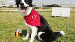 """Afgerichte hond uit Kaggevinne vertegenwoordigt België op het WK: """"Lara is heel gehoorzaam en leeft als een topsporter"""""""
