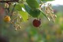 De wonderlijke vrucht van de aardbeiboom.