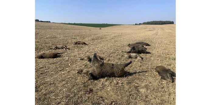 Zeker tien kadavers van everzwijnen liggen verspreid over het veld.