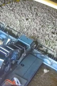 Des poulets ramassés à la moissonneuse: la nouvelle vidéo choc de L214