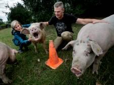 Varkens met sterrenstatus krijgen trio als versterking