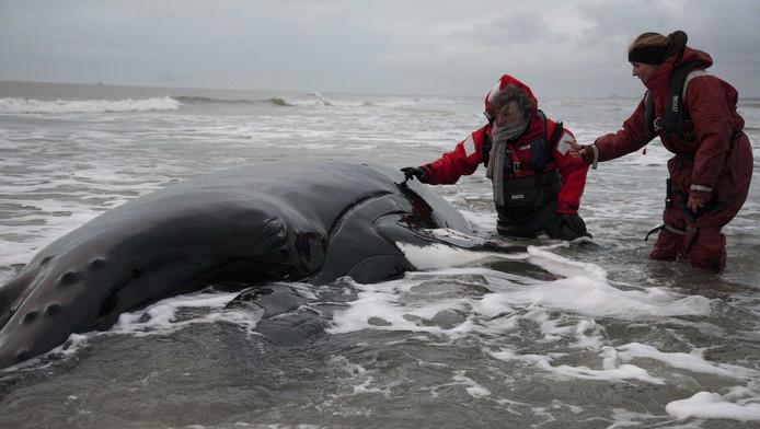 Een medewerker van het zeehondencentrum Pieterburen (L) en biologe Laura Lauta van Aysma bij de overleden bultrug op De Razende Bol