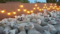 En dan valt plots een enorme kudde schapen de tuin binnen