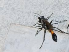 Rosmalen heeft de primeur:  twee kasten met sluipwespen in strijd tegen processierups