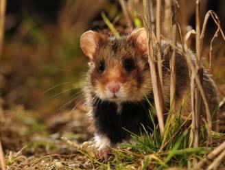 Studie met hamsters toont aan: minder coronabesmettingen door gebruik mondmasker