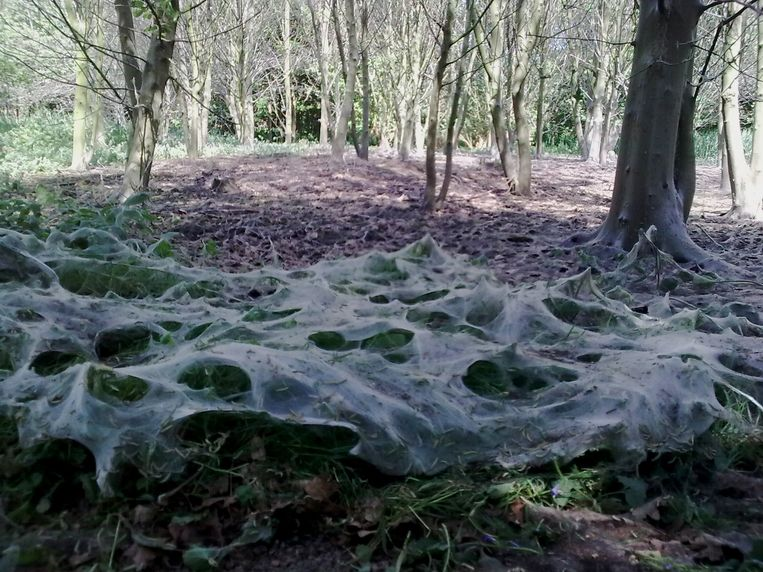 De spinselmotten vreten de bomen en struiken kaal en laten een wit web achter.
