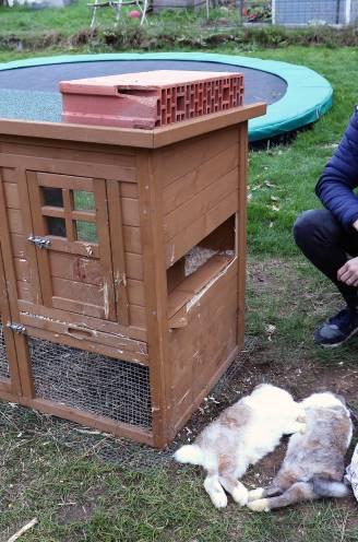 """Dierenbeul aan het werk in Olen? Ellen vindt twee konijnen dood in haar tuin terug, naast sjaal met doodskoppen: """"We denken aan een combinatie van mens en dier"""""""