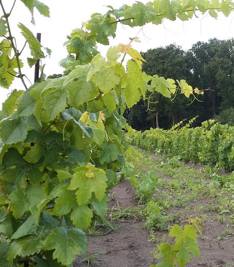 Logeren in een wijngaard kan straks ook in Gestel