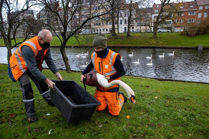 In het centrum van Brugge moesten meer dan 100 zwanen gevangen worden in verband met de ophokplicht.