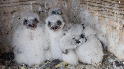 Vier slechtvalkkuikens geboren in Sint-Hermestoren
