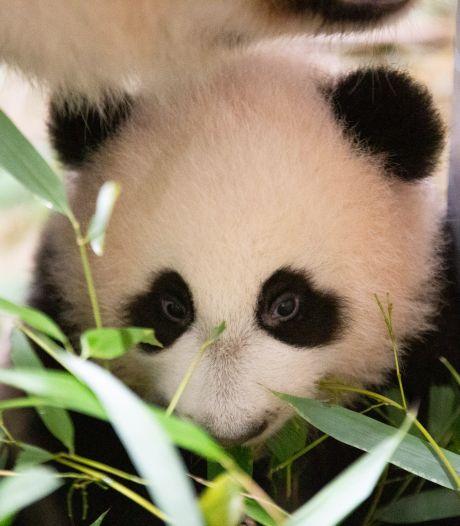 Geslacht pandajong Fan Xing bekend. Het is een....