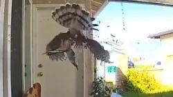 Prachtig maar gruwelijk: deurbelcamera filmt hoe sperwer duif grijpt