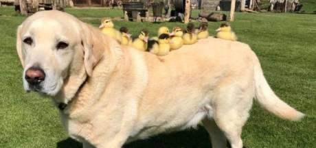 Hond 'adopteert' negen weeskuikens