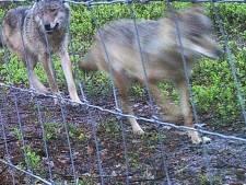 Onderzoek bewijst: moordlustige wolvin GW998f doodt 14 schapen bij Emst
