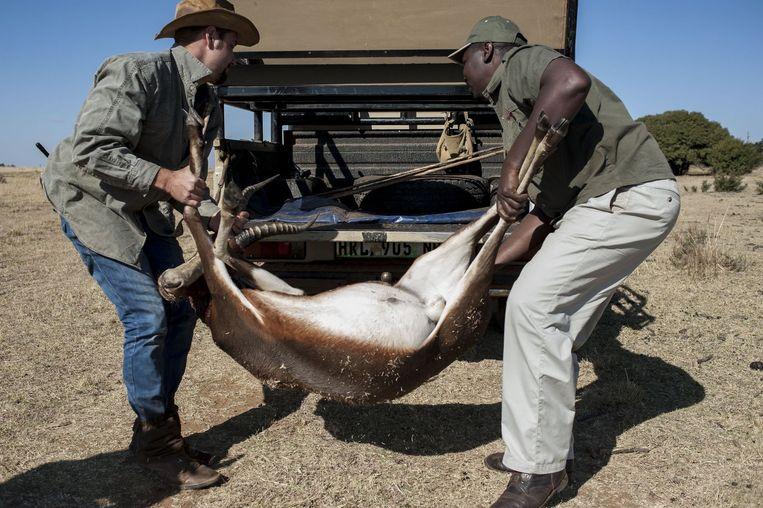 Twee jagers in Zuid-Afrika gooien een springbok in een auto. Beeld afp
